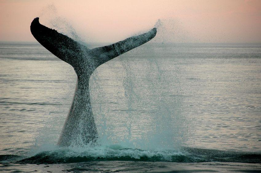What is a Whaling Attack? Defining and Identifying Whaling Attacks